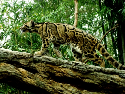Clouded_Leopard_by_Cowgirlsplash
